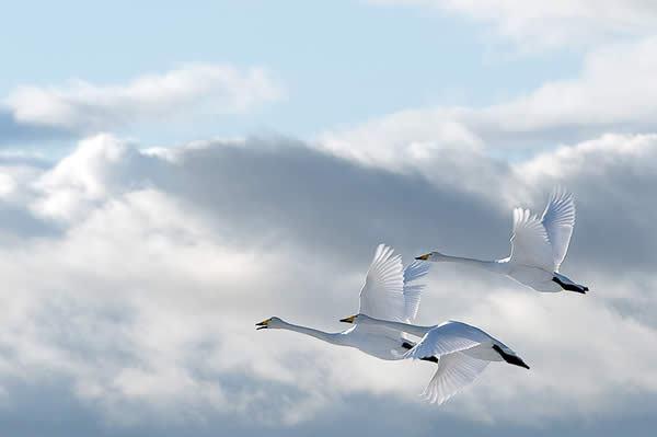 pixleyes-com-swans