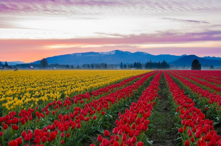 Skagit-Valley-Tulip-Fields-Washington-e1452270012669